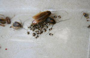 kakkerlak-nimfen-eipakket