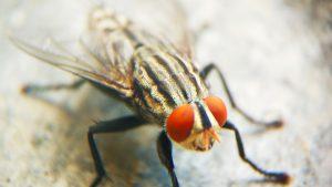 klustervlieg van dichtbij