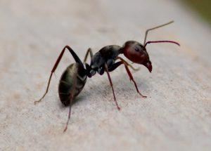 mier op hout