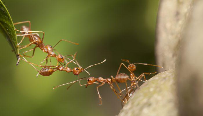 Mieren houden elkaar vast