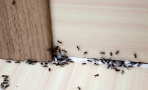 mieren in huis