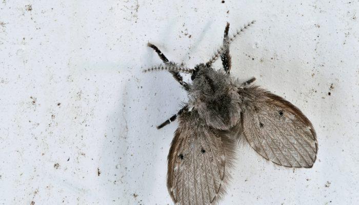 Motmuggenbestrijding
