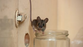 muis in de keuken