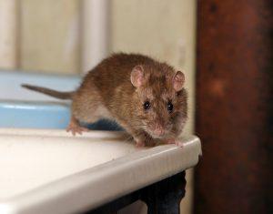 muis-in-huis