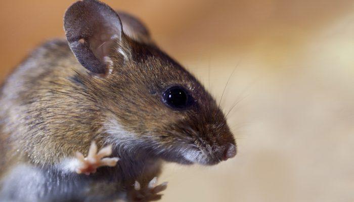Het seizoen van de muizen, wat nu?