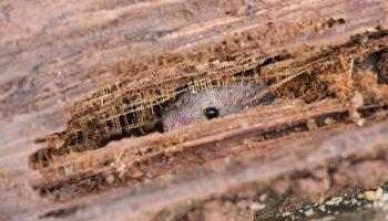 muis die zich verstopt tegen de kou