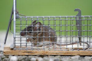 muizenval-levend-muis