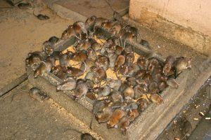 muizenplaag aan het eten