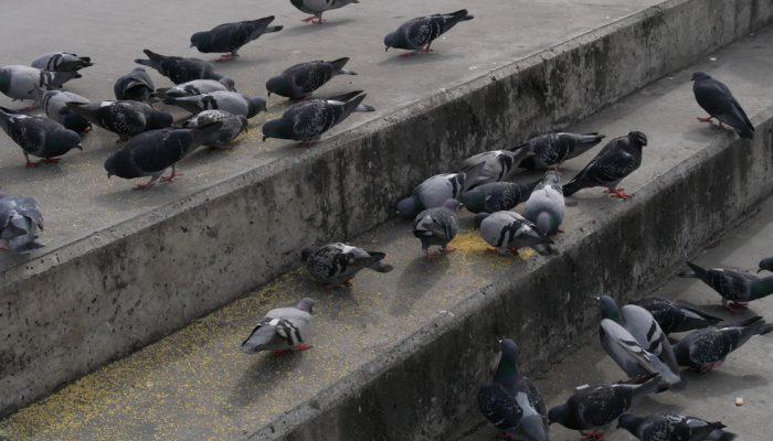 Tips tegen duiven