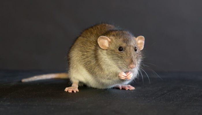Bruine rat in het donker