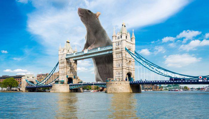 Gigantische rat in Groot-Brittannie