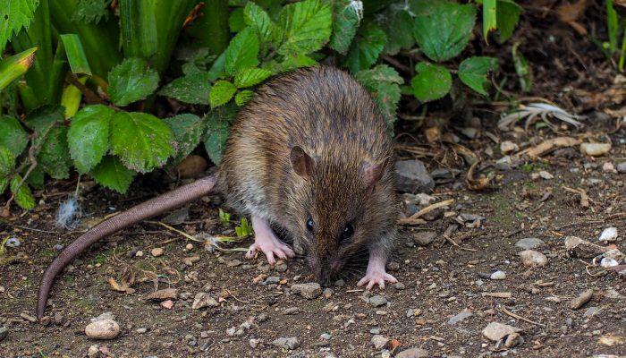 Rat in tuin