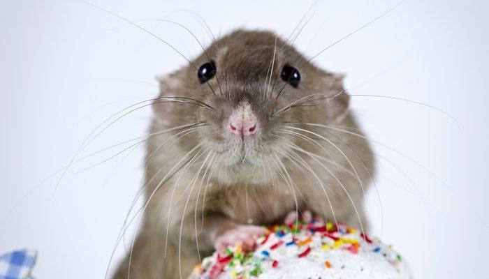 Rat knaagt op verjaardagstaartje