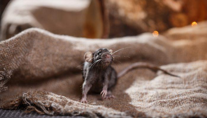 Rat in bed
