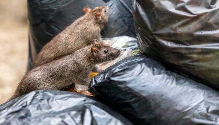 Ratten met de ziekte van Weil
