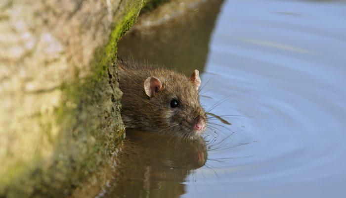 Wistjedatjes – Ratten