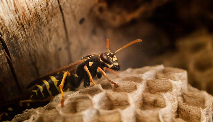 Wespen doden eigen koningin