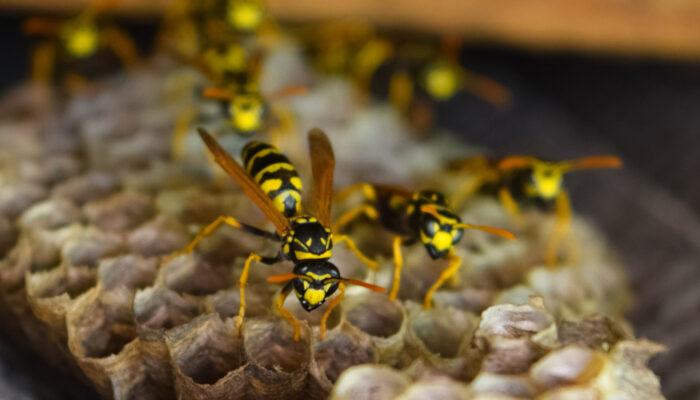 Wespen bestrijden in Duitsland