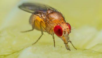 Fruitvlieg zit op fruit