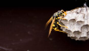 Wespen in Nederland