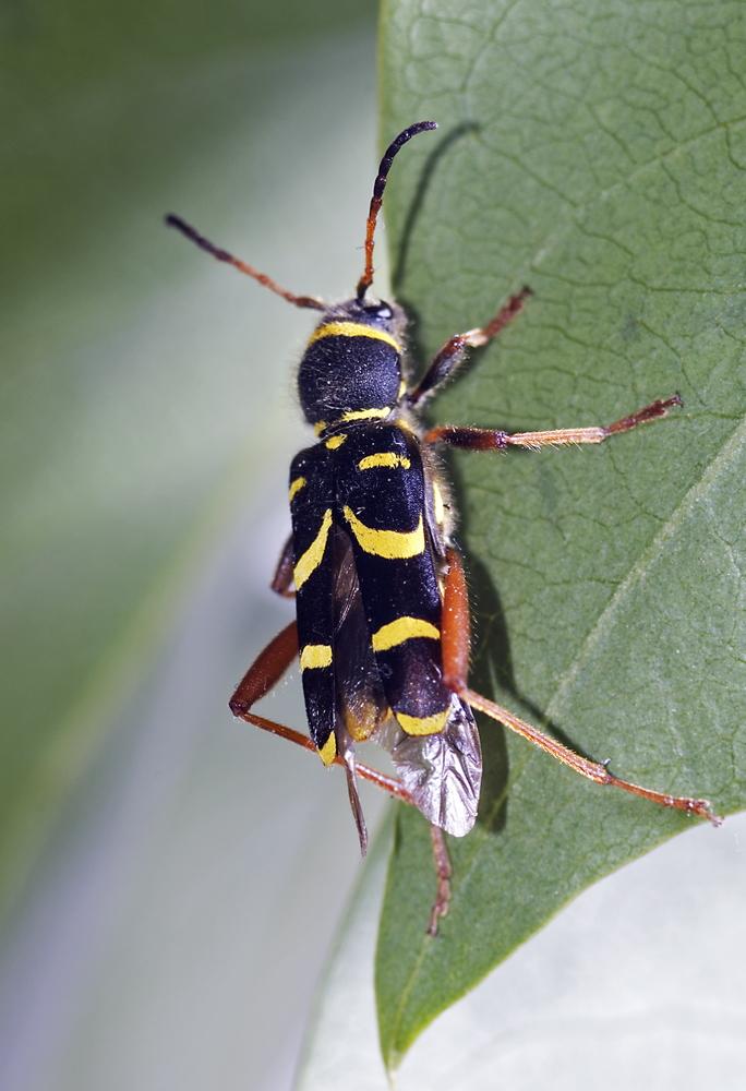 Kleine wespenboktor