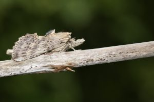 snuitvlinder op een tak