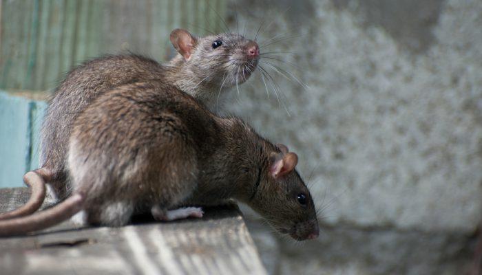 Oma weet raad – Ratten