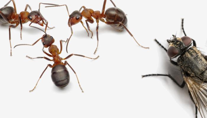 Vliegen en mieren