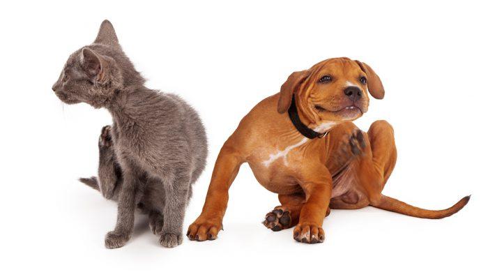 Vlooien op huisdieren