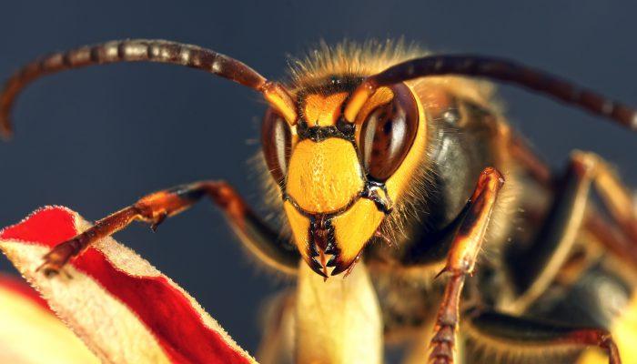 Tsjechische hardlopers aangevallen door wespensoort