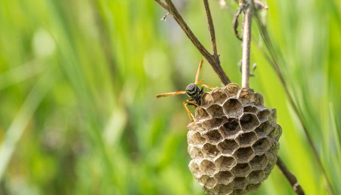 Groot aantal wespennesten zorgt voor wachtlijsten