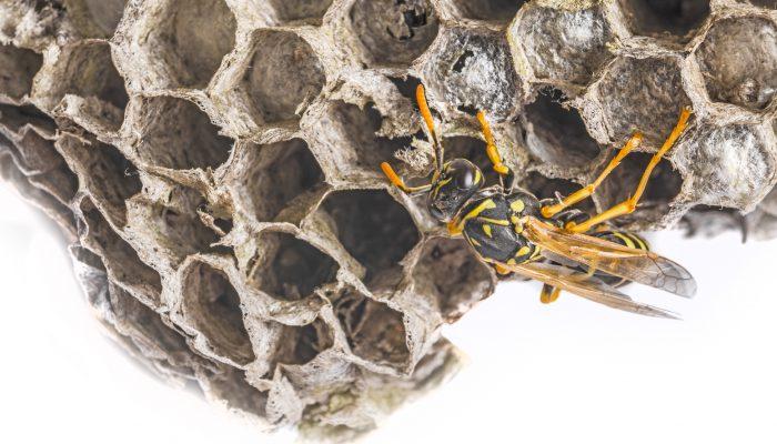 Een wespennest
